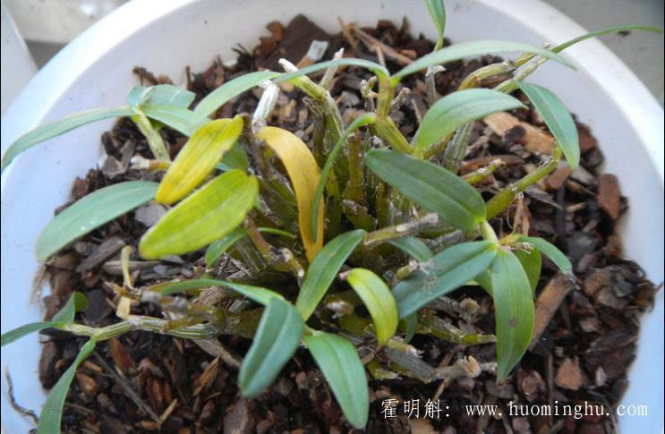 霍山铁皮石斛在家如何种植有什么环境要求?