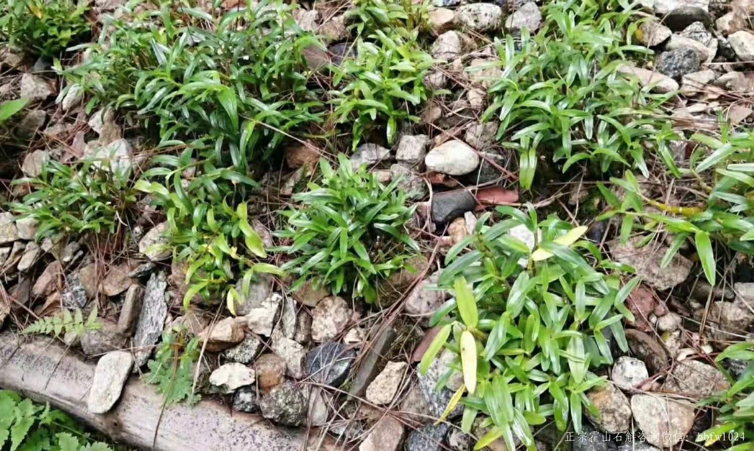 霍山石斛仿野生种植环境是怎么样的